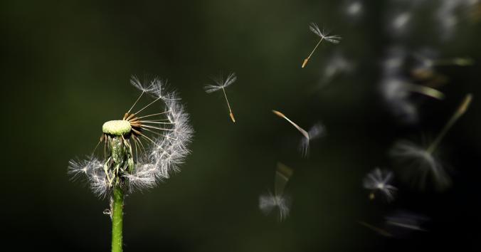 maskros vars frön försvinner i vinden